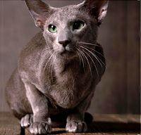 Cat Breed Profile :: Oriental