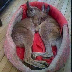 Sleeping baby kangaroos, omg