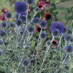 Echinops ritro (Small globe thistle) - Fine Gardening Plant Guide