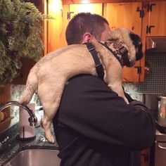 misssweetpeathepug:  Just relaxing on dad's shoulder