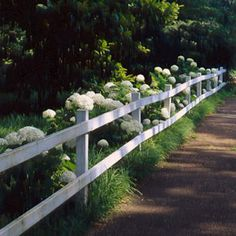 'Annabelle' hydrangeas, underplanted with mondo grass, raise their white heads along a rail fence bordering the sidewalk in front of the house.    These are my favorite Hydrangeas.