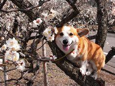 Who knew, Corgis grew in trees!