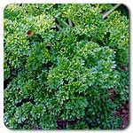 Organic Moss Curled Parsley