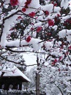 Snow in Plum Blossom, Nara, Japan