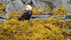 Bald Eagle 8/2012