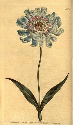 blue flower botanical