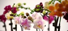 Miniature Orchids in Many Colors