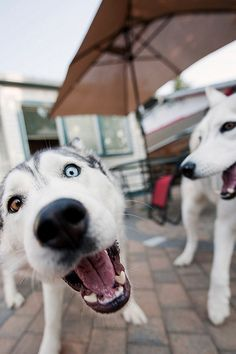 Huskies. love the double eye color!