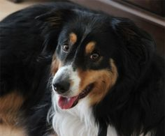 Willow: Border Collie, Winnipeg, MB at Hull's Haven. Found a home!