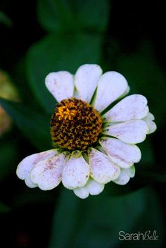 white daisy photograph placed on canvas.
