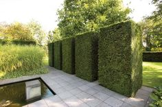 Neat rectangles of clipped English yew green wall