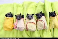 Whoever said bats aren't cute hasn't seen these fruit bats wrapped in blankets. Pass the salsa!