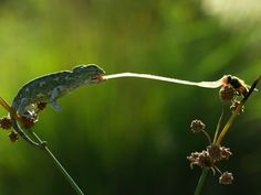 Picture of a baby chameleon hunting. Our world has visual delights at every corner, but blink and you will miss them!