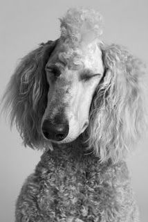 Standard Poodle Mohawk!!!!! YESSSSSS looks better than what PawZu's last groomer did to my poor boy