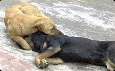 The dog is grieving for its friend who died after being poisoned by the authority of Eskisehir, Turkey.    A lot of street dog in Turkey go around in pairs. One day however, a death squad came and poisoned one of them.    Hearth breaking indeed. It goes to show how loyal and loving is a dog compared to a lot of human beings.