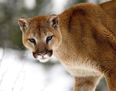 Cougar...photo by Maury Seymour near Aspen, Colorado - Pixdaus
