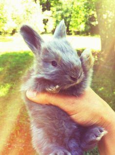english-angora-bunny