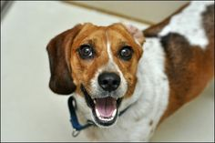 I mean how can you resist Sonny!  He is a 1 year old Beagle! He is looking for his forever home right now!      Call Animal Haven at 212.274.8511 and mention you found him on Swifto's Pinterest