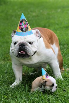 English bulldog birthday