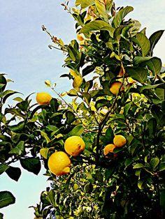 #fruit Happiness: Backyard Tree Bursting With Lemons