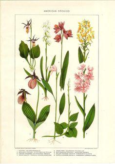 vintage botanical drawings