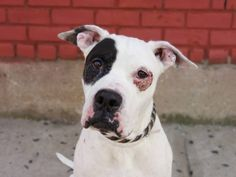 TO BE DESTROYED 8/29/14 Brooklyn Center -P  My name is OLIVER. My Animal ID # is A1010590. I am a male white and black pit bull mix. The shelter thinks I am about 2 YEARS   I came in the shelter as a STRAY on 08/14/2014 from NY 11416, owner surrender reason stated was STRAY. https://www.facebook.com/Urgentdeathrowdogs/photos/a.611290788883804.1073741851.152876678058553/856748824337998/?type=3&theater