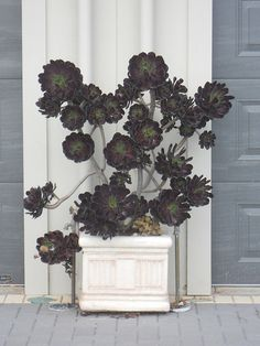 I am so very in love with the black rose tree -- a succulent.