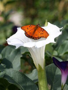 Orange Butterfly on White Flower