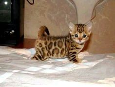 Asian leopard kitten mixed with a Bengal kitten, total domesticated cuteness!