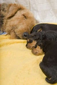 Image detail for -Airedale puppies with mother