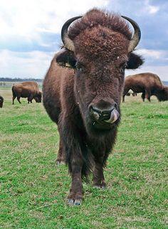 Buffalo in Shelby Farms Park, Memphis, TN