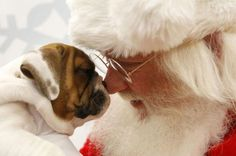 #Santa nose boop! #puppies #dogs #christmasdogs anim, puppies, old english, santa, pet, english bulldogs, christmas eve, merri christma, kisses