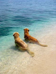 dog days, golden retrievers, pet, the ocean, at the beach