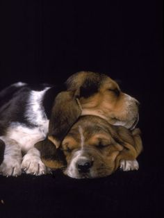 Adorable Sleeping Beagles