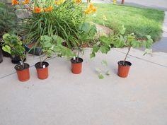 Grape Growers - Rocky Mountain Gardening Forum - GardenWeb