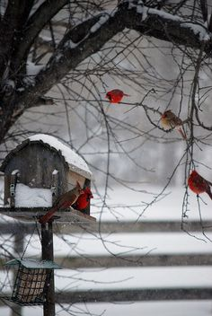 christmas cards, winter snow, red, color, bird feeders, white, winter scenes, birds, cardinals