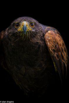 Hawk by alan shapiro photography on Flickr