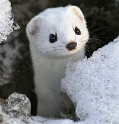 snow...ferret? weasel? ermin? Def adorable.