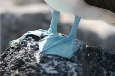 Blue footed booby in the Galapagos Islands :) blue foot, galapagos islands, galapago island