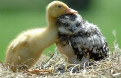 Unlikely friends: duckling and owlet.