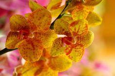 yellow, orange, pink orchids