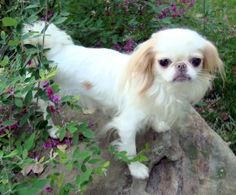 Olivia - adopted is an adoptable Japanese Chin Dog in Wooster, OH. FINAL UPDATE: The 'rescue' that had Olivia has been removed from Petfinder! Please help Petfinder in making sure that people who are ...