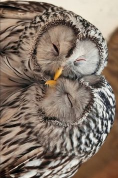 snuggling owls