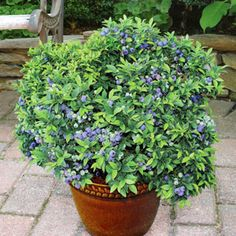 'Top Hat' blueberry bush grows only 20 inches tall and 24 inches wide, plus it doesn't need a pollinator to set fruit. It's great for growing in containers...