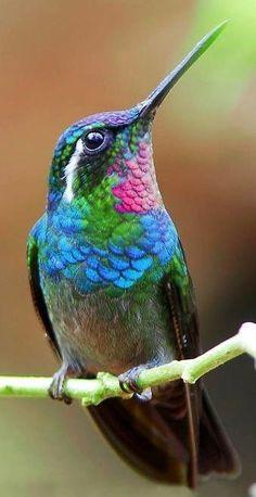 Pretty little blue, green & pink hummingbird