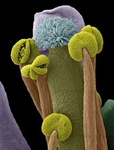 Scanning electron micrograph of part of a thale cress flower, showing the male and female reproductive organs. The female part of the flower, the pistil (the blue feathery structure on an olive green stalk), is at the centre of the image and contains egg cells (ovules) housed in an ovary. It is surrounded by the male parts, the stamens, which have their anthers coloured light green and their filaments brown. Credit: Stefan Eberhard.