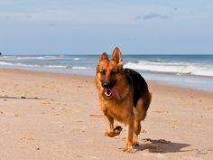 Beach + german shepherd. Perfect.