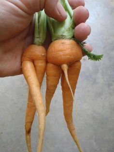 Where Baby Carrots Come From