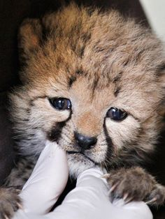 After a feeding, cheetah keeper Gil Myers cleans a one-month-old female cheetah cub, that was delivered via a rare caesarean section, Wednesday, May 23, 2012, at the National Zoo in Washington. The cub and her brother are expected to go on public display in the late summer. (AP / Jacquelyn Martin)