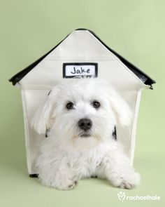 Jake (Bichon x Maltese) - A man's home is his castle